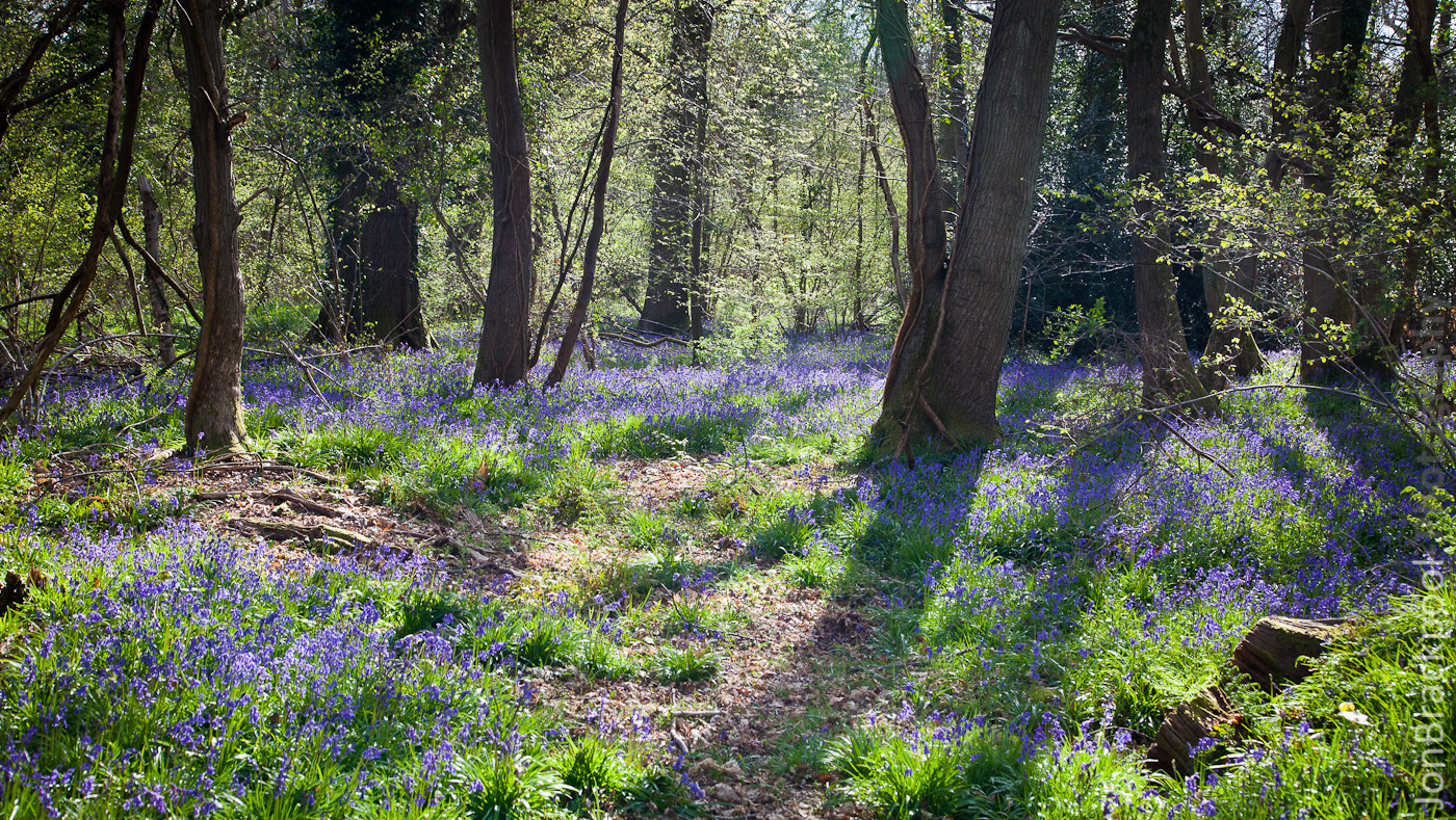 Bluebell Wood - Southwick-3848