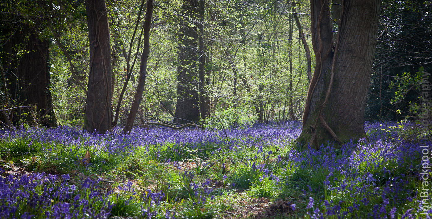 Bluebell Wood - Southwick-3849