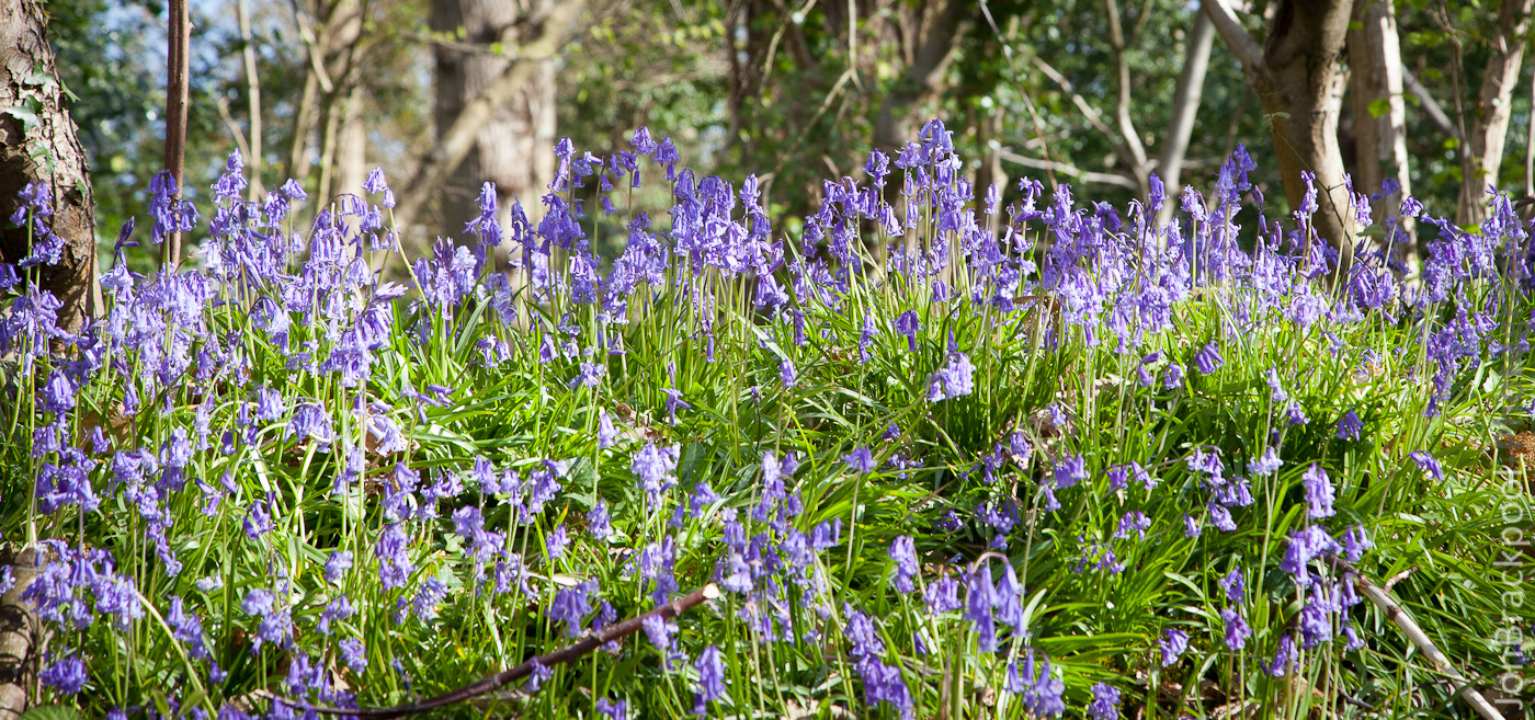 Bluebell Wood - Southwick-3861
