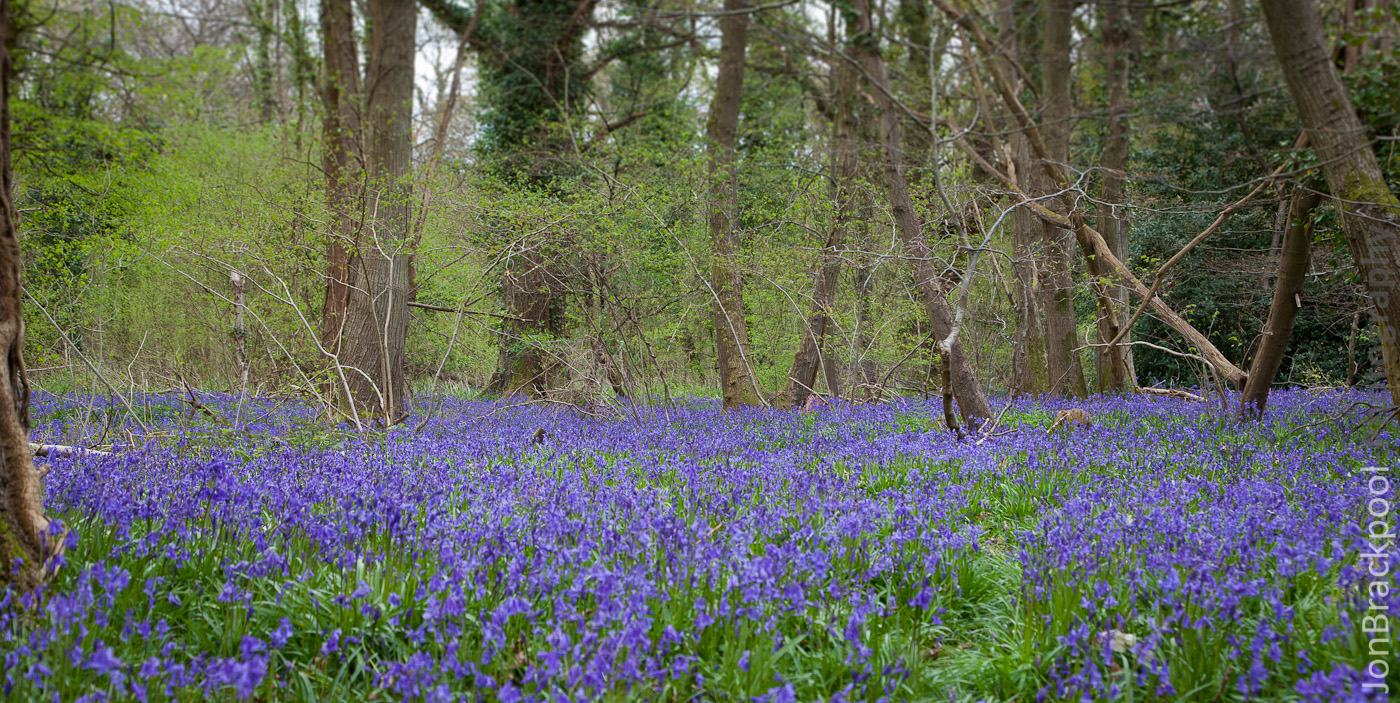 Bluebell Wood - Southwick-3872