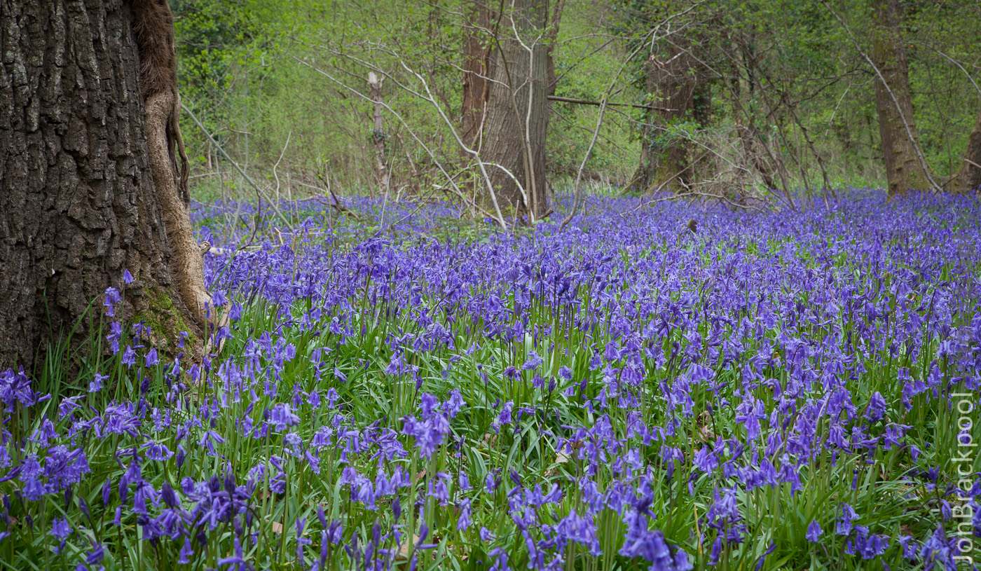 Bluebell Wood - Southwick-3879