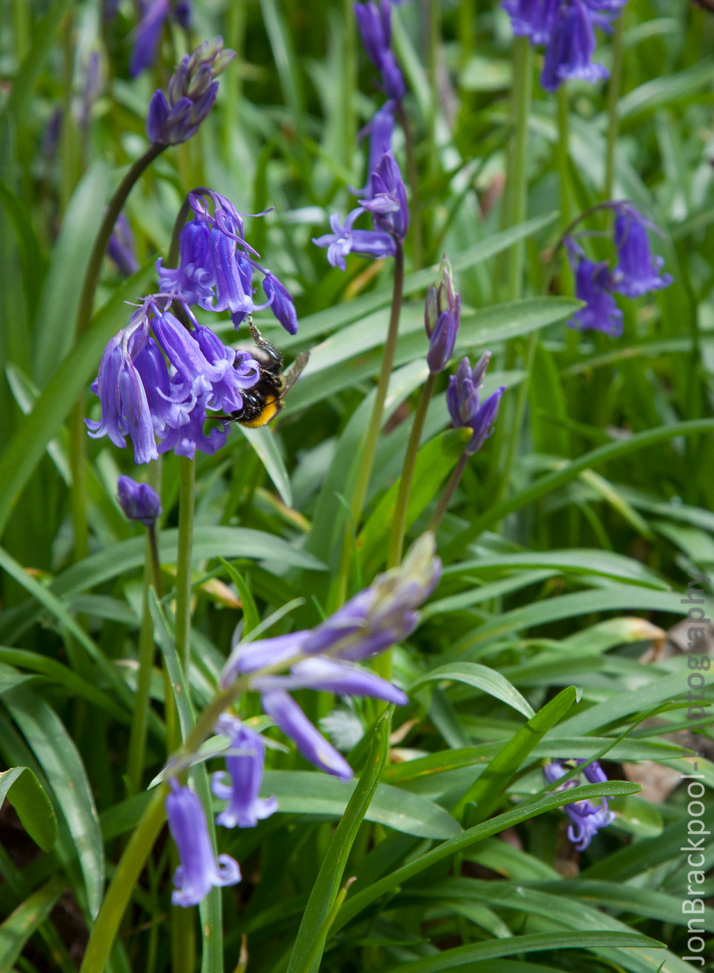 Bluebell Wood - Southwick-3891