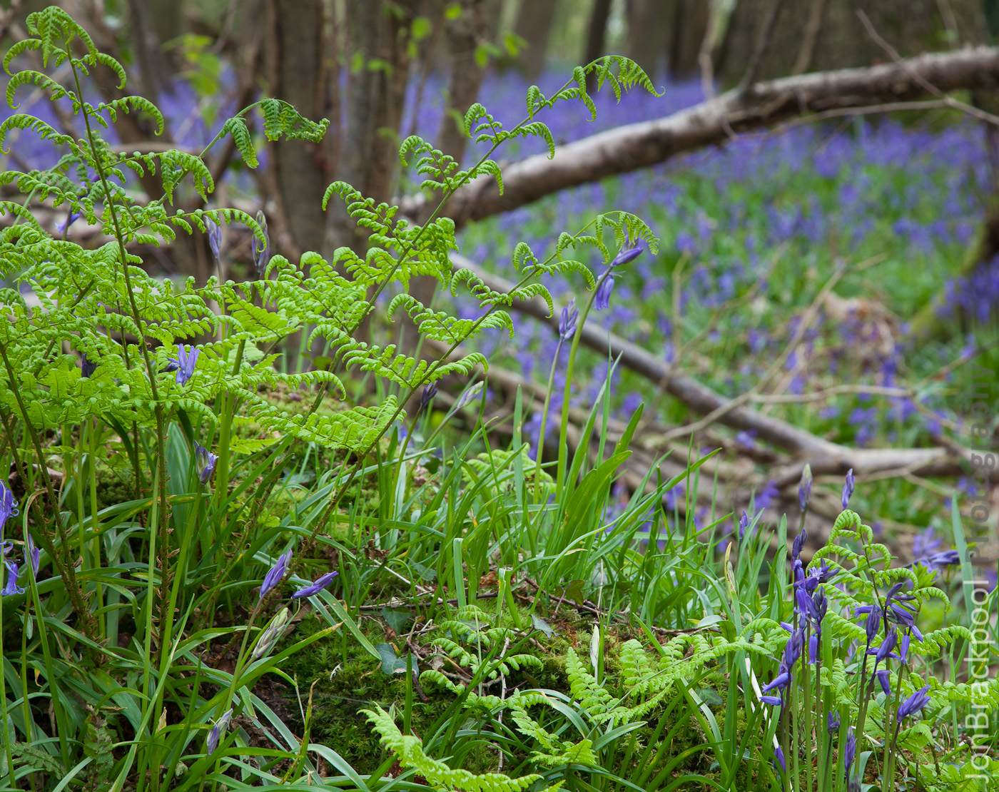 Bluebell Wood - Southwick-3895