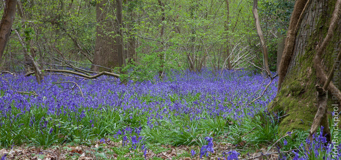 Bluebell Wood - Southwick-3910