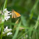 Large Skipper Butterfly (?)